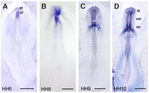 hybridation in situ sur wholemount chicken