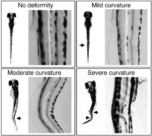 Détection de gène par hybridation in situ (HIS) sur zebrafish