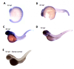 Hybridation in situ sur embryons zebrafishs